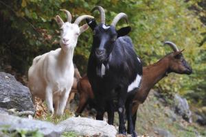 trei-capre